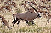 Spießbock (südafrikanischer Oryx) (Oryx gazella), der an einer Springbockherde (Antidorcas marsupialis) im Kgalagadi Transfrontier Park vorbeigeht und den ehemaligen Kalahari Gemsbok National Park, Südafrika, Afrika, umfasst