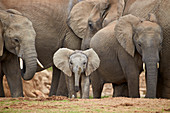 African elephant (Loxodonta africana) group with baby, Addo Elephant National Park, South Africa, Africa