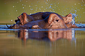 Hippopotamus (Hippopotamus amphibius) flipping water with its ear, Kruger National Park, South Africa, Africa