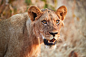 Lion (Panthera leo), young male, Ruaha National Park, Tanzania, East Africa, Africa