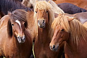 Icelandic horses, near Skogar, South Iceland (Sudurland), Iceland, Polar Regions