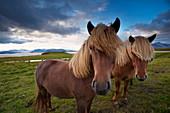 Icelandic horses, near Hofn, Hornafjordur mountains and glaciers behind, East Fjords region (Austurland), Iceland, Polar Regions