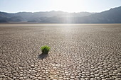 Grass in dried earth, Racetrack Point, Death Valley National Park, California, United States of America, North America