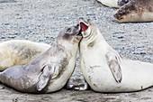 Southern elephant seal (Mirounga leonina) weaner pups, Snow Island, Antarctica, Polar Regions