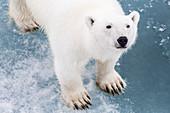 A curious young polar bear (Ursus maritimus) on the ice in Bear Sound, Spitsbergen Island, Svalbard, Norway, Scandinavia, Europe