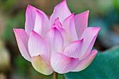 Lotus flower (Nelumbo nucifera) along the Tonle Sap River, Cambodia, Indochina, Southeast Asia, Asia