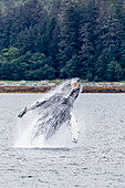 Humpback whale (Megaptera novaeangliae) breaching near the Glass Peninsula, southeast Alaska, United States of America, North America