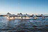 Wild white horses running through water, Camargue, France, Europe