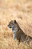 African leopard (Panthera pardus pardus), Serengeti National Park, Tanzania, East Africa, Africa