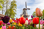 Tulpen und Windmühlen im Keukenhof Garten, Lisse, Südholland, Niederlande, Europa