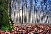 Beech trunks in the back light, Großer Winterberg, Elbe Sandstone Mountains, Saxon Switzerland National Park, Saxon Switzerland, Saxony, Germany