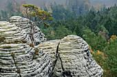 Kiefer wächst auf Felstürmen, Elbsandsteingebirge, Nationalpark Sächsische Schweiz, Sächsische Schweiz, Sachsen, Deutschland