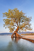 Old root tree, willow on Lake Constance near Bregenz, Vorarlberg, Western Austria, Austria, Europe