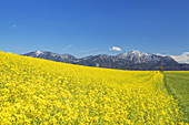 Rape field in front of Jochberg near Großweil, Werdefelser Land, Upper Bavaria, Bavaria, southern Germany, Germany, Europe