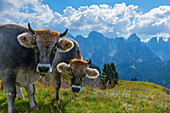 Cows on the summer pasture on the Schlern with the rose garden in the background, UNESCO World Natural Heritage, Tiersertal, Italy