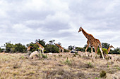 Giraffes in the Lalibela Game Reserve, South Africa, Africa