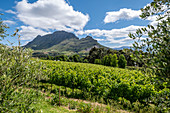 Clouds Estate Winery, Stellenbosch, Cape Winelands, South Africa, Africa
