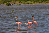 Flamingos in the water in Cayo Guillermo, Cuba