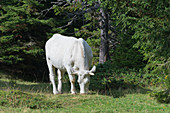 weiße Kuh, Isère, Frankreich