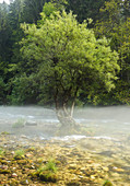 Baum im Fluss Radovna, Nebel, Slowenien, Europa