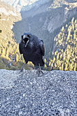 Crow in front of a canyon in Yosemite Park. California, United States.