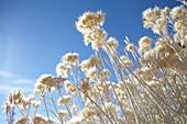 Wild straw flowers on Mono Lake. Eastern Sierra, California, United States