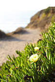 Succulents with flower on Big Sur beach. California, United States