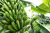 Banana plantation at Tazacorte, La Palma, Canary Islands, Spain, Europe