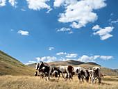 Campo Imperatore, Gran Sasso e Monti della Laga National Park, Abruzzo, Italy: wild horses