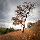 Tree in yellow grass with back light and clouds on Brac island, Croatia
