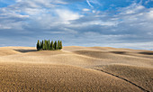 Cypress forest with hilly fields in San Quirco d'Orcia, Tuscany Italy