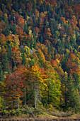 Wald mit Herbstfarben am Weitsee, Bayern, Deutschland