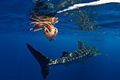 Whale shark (Rhincodon typus) swimming past a jellyfish (Thysanostoma loriferum), Honda Bay, Palawan, The Philippines, Southeast Asia, Asia