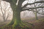 Mossy trees in a misty woodland in winter, Dartmoor, Devon, England, United Kingdom, Europe