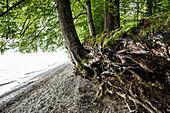 Baum und Wurzeln am Ufer, bei Bodman, Bodensee, Baden-Württemberg, Deutschland