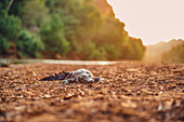 Crocodile on the river in Windjana Gorge National Park in the Kimberley region in Western Australia, Australia, Oceania