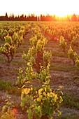 Frankreich, Vaucluse, Serignan du Comtat, Weinreben, AOC Cotes du Rhone