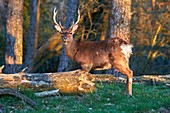 France, Haute Saone, Private park, Sika Deer (Cervus nippon), stag, standing at the edge of the forest