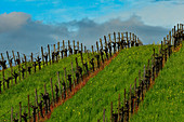 A hill with grapevines in the Napa Valley near Lake Hennessy, California, USA