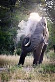 An African elephant bull, Loxodonta africana, sprays sand over itself using its trunk.