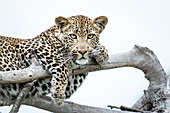 A leopard, Panthera pardus, lies on dead branches, paws draped over branches, direct gaze, white background.
