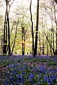 Carpet of bluebells in a forest in spring.