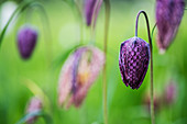 Close up of a delicate purple, checkered blossom of a Snake's Head Fritillary on a meadow.