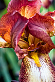 Extreme close up of orange and red bearded Iris.