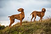 Portrait of two Vizla dogs standing on a meadow.
