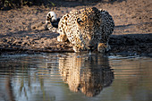 A leopard, Panthera pardus, crouches down to drink water, direct gaze, ears back, ripples in water