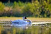 France, Ain, Dombes, Mute swan (Cygnus olor), adult
