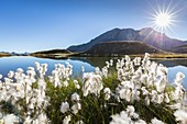 France, Hautes Alpes, Parc Naturel Regional du Queyras (Natural regional park of Queyras), balls white of the Scheuchzer's cottongrass (Eriophorum scheuchzeri) on the lake of Eychassier (2770m) in the background the Crete of Taillante (3196m)