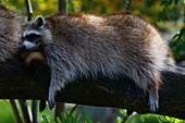 France, Gironde, Bassin d'Arcachon, La Teste, Zoo, raccoons (Procyon lotor Linnaeus)