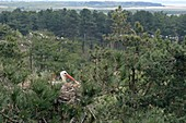 France, Somme, Baie de Somme, Marquenterre park, White Stork (Ciconia ciconia) nesting in a nest built at the summit of a pine